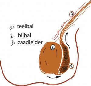 anatomie van de teelbal